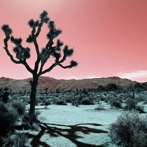 JOSHUA TREE - ROSE, California - Limited Edition of 10 Photography by Kristin Hart   Saatchi Art #photography #color #digital