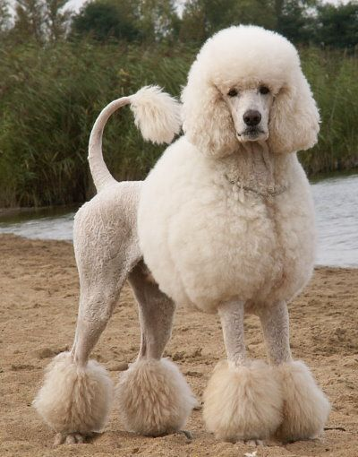 Poodles Smart Active And Proud With Images Poodle Haircut