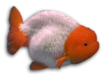 The Ranchu Goldfish Breed Is A Very Adorable One Indeed Known As The King Of Goldfish In Japan Learn More About Thi Goldfish Breeding Goldfish Goldfish Types