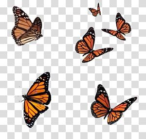 S 004 Full Six Flying Monarch Butterflies Transparent Background Png Clipart In 2020 Butterfly Background Butterfly Sketch Butterfly Watercolor