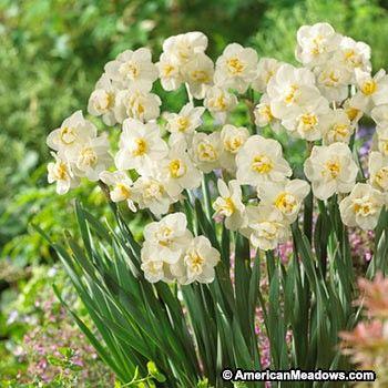 Cheerfulness Double Daffodil Daffodil Bulbs Daffodils Daffodil Flower