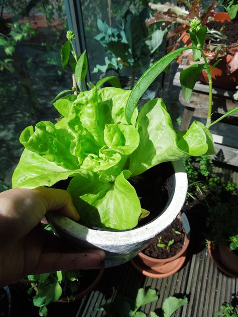 Growing butter lettuce for one