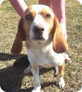 Adoptable Beagle Bartonsville Pa Beagle Meet Joe A Dog For