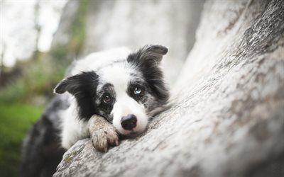 Download Wallpapers Border Collie Heterochromia Pets Cute