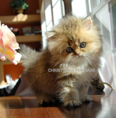 Past Kittens Christypaw Persians Persian Kittens Persian Cats For Sale Kittens