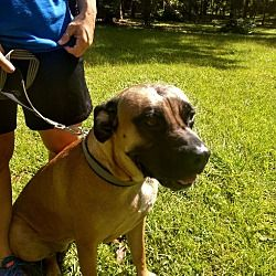 Laurel Fl Bullmastiff Meet Coco A Dog For Adoption With Images Crate Training Puppy Dogs Pet Adoption