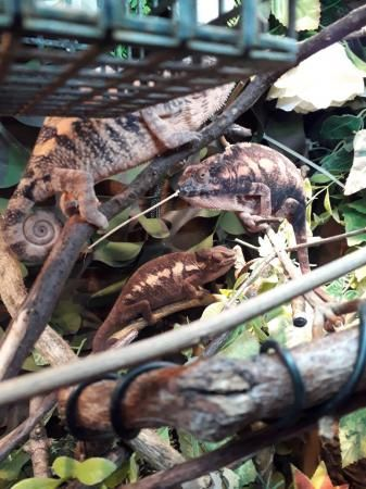 Ambilobe Females For Sale In Halstead Essex Preloved Chameleon Pet Pet Ownership Pet Care Tips