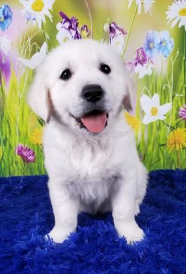 English Cream Golden Retriever Puppies For Sale Puppies