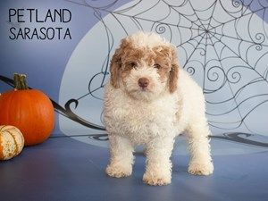 Cockapoo 2nd Generation Dog Female Red White 2476565 Puppies Puppy Adoption Dogs