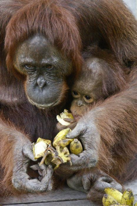 Mama Orangutan shares bananas with her baby
