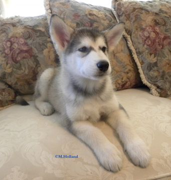 Litter Of 5 Alaskan Malamute Puppies For Sale In Capron Va Adn