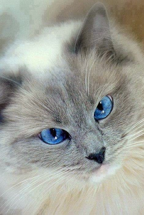Newest Snap Shots Siamese Cats Rag Dolls Strategies Siamese Cats Work Best Renowned For Their Clean Sleek Figures Cat Work Ragdoll Cat Cute Cat Gif