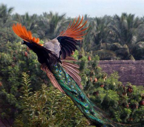 Best Flying Peacock Images On Pinterest Animals Peacock And - Flying peacocks look like mythical creatures
