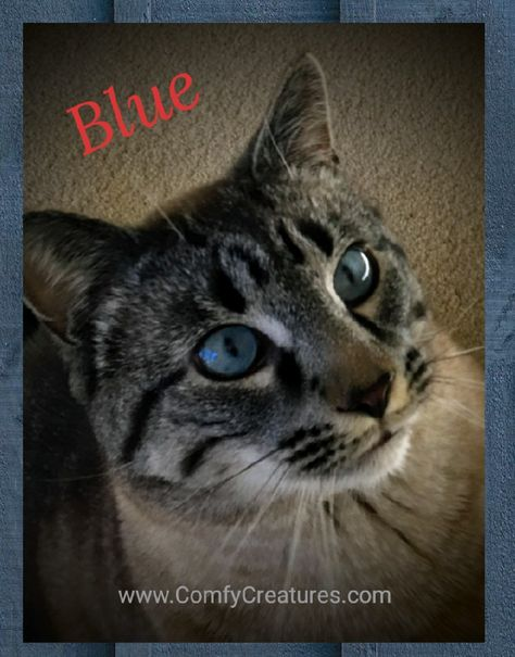 Most Kittens Have Deep Blue Eyes At Birth And During The First 12 Weeks Their Eye Color Will Change Blue Is 2 Years Old He Is 2 Years Old Companionship Cats
