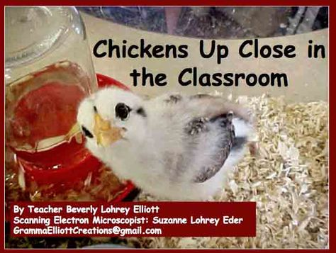 Hatching Chickens in a Classroom - Powerpoint Presentation