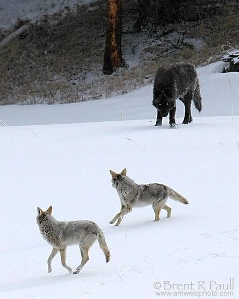 Wolf vs. 2 Coyotes