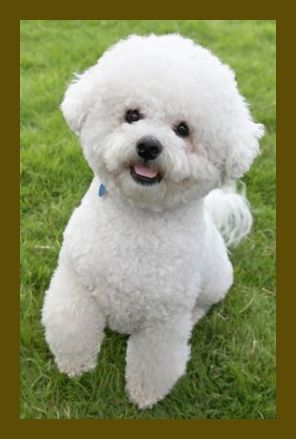 Picking A Four Legged Friend To Join Your Household Is A Crucial Choice Here S What You Need To Learn About The Finest P In 2020 Bichon Frise Dogs Dog Breeds
