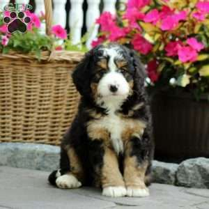 Mini Bernedoodle Puppy In Lititz Pa