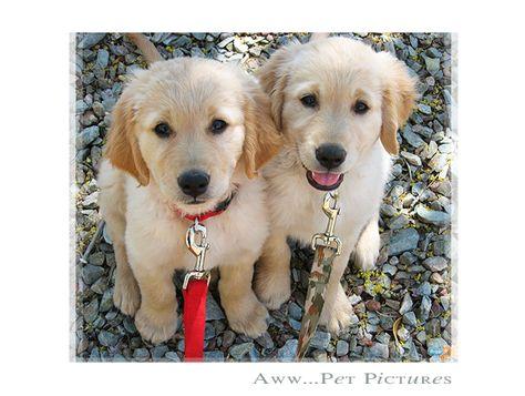 Twin Baby Golden Retriever Puppies Golden Puppies Animals Friends