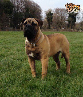 Male South African Mastiff For Sale Mastiff For Sale Dogs