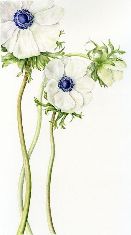 White Anemone Flower Art Flower Drawing Floral Art