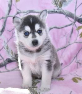 Pomsky Pomskypuppy Pomskypuppies Pomskydog Pomskypup Charming Puppiesofpinterest Pinterestpuppi Pomsky Puppies Puppies For Sale Pomsky Puppies For Sale