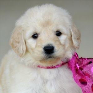 Ellie Rose Goldendoodle Puppy 587462 Puppyspot Goldendoodle Puppy