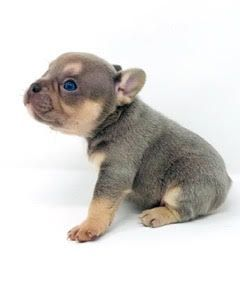Lilac With Tan Points Male French Bulldog Available Top Quality