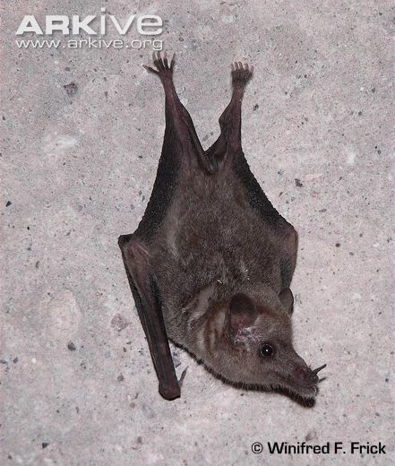 Mexican Long Tongued Bat Hanging On Cave Wall These Bats Inhabit Deep Canyons Where They Use Caveine Tunnels As Day Roosts