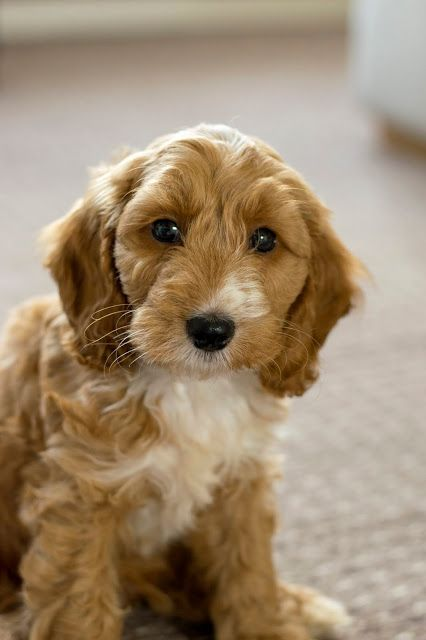 Meet Our New Addition Teddy The Cockapoo Cockapoo Puppies