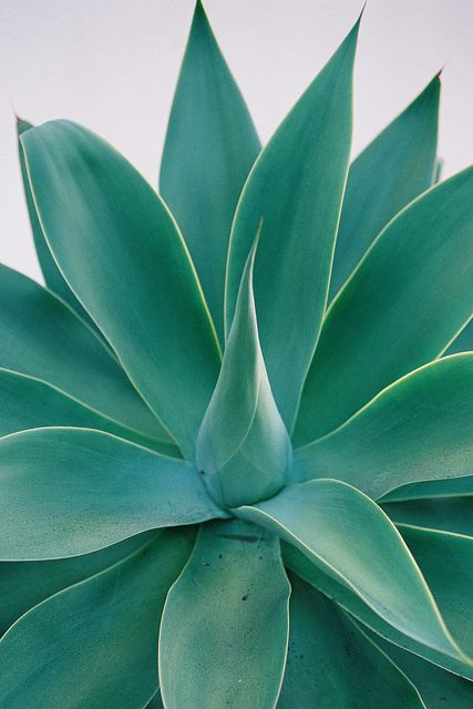 Agave attenuata- would love a line of these somewhere in the yard - not in a heavy trafficked area. ;)