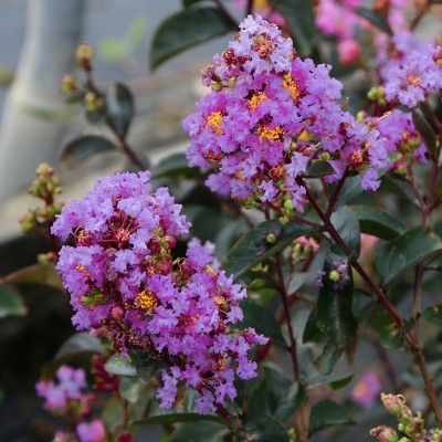 Black Diamond 1pc Crape Myrtle Lavender Lace National Plant Network Crape Myrtle Lavender Blossoms Plants