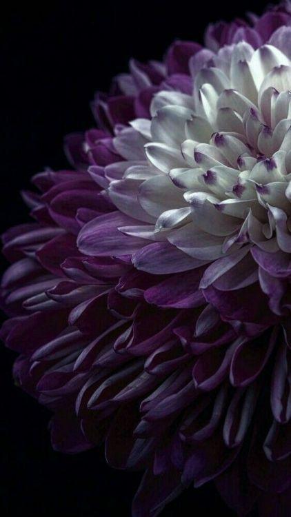 Zastavki Flowers Photography Purple Flowers Flower Wallpaper Coolest chrysanthemum flower wallpaper