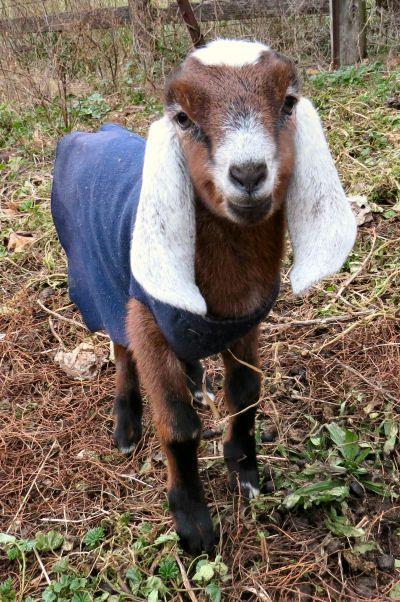 Enjoying Winter Goat Kids | Beautiful Nubian Goats | Goats, Nubian