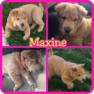 Pictures Of Maxine A Shar Pei Golden Retriever Mix For Adoption In