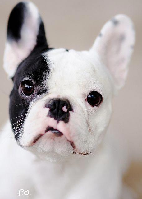 Black White Pied French Bulldog Puppy Chiot Bouledogue