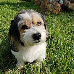 Available Pets At Dachshund Rescue South Florida In Weston Florida Small Dog Rescue Pet Adoption Dog Adoption