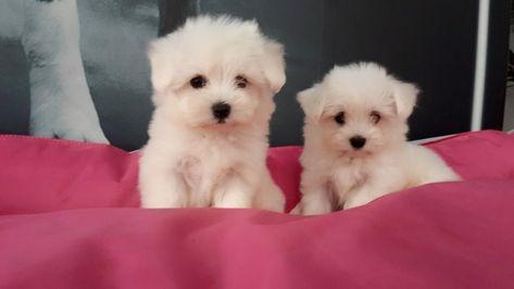 Teacup Maltese Terrier Yavru 968