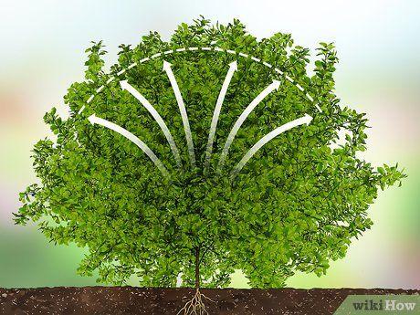 How To Trim Evergreen Bushes Evergreen Bush Evergreen Plants Bushes Shrubs