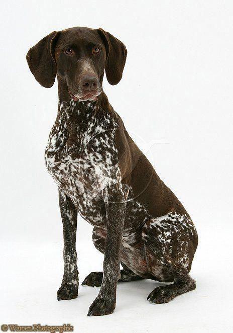 Pin Von Henning Breimann Auf Deutsch Kurzhaar In 2020 Jagdhunde Deutsch Kurzhaar Hunde