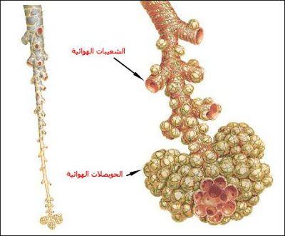 بحث حول الجهاز التنفسي أعضاء التنفس لدى الإنسان الموسوعة المدرسية Crochet Necklace Jewelry Diamond Necklace