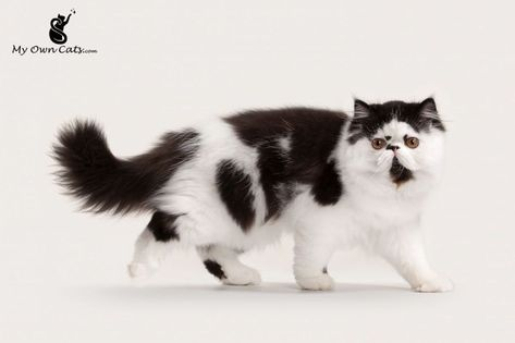 Remarkable Persian Cat Ideas Persian Cats For Sale Persian Kittens Persian Kittens For Sale