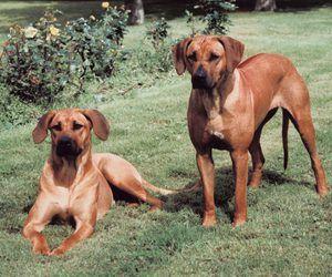The Original Habitat Of The Rhodesian Ridgeback Rhodesian Ridgeback Puppies Rhodesian Ridgeback Rhodesian Ridgeback Dog