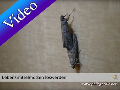 Lebensmittelmotten Motten In Der Kuche Bekampfen Lebensmittelmotten Motten In Der Kuche Lebensmittel