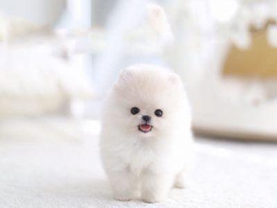Pocket Puppy Price Goldenacresdogs