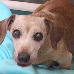 Available Pets At Oc Animal Care In Tustin California Pet Adoption Dachshund Adoption Help Homeless Pets