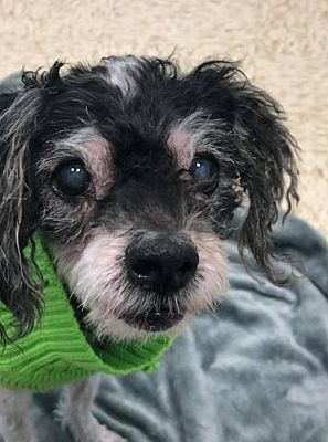New York Ny Ben Is A Senior Miniature Poodle For Adoption Who Needs A Loving Home Dog Adoption Kitten Adoption Miniature Dogs