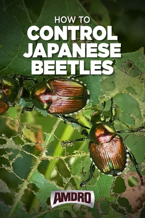 Japanese beetles may be small in size, but they sure have a big appetite. Use these tips to keep these destructive pests away from your garden! #JapaneseBeetle #Garden #pestcontrol #GardenPest Garden Bugs, Garden Insects, Garden Pests, Garden Care, Lawn And Garden, Outdoor Plants, Outdoor Gardens, Outdoor Rugs, Outdoor Sofa