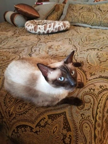 Siamese Cat For Adoption In Austin Texas Mimi Vi In Austin Texas Cat Adoption Cats Siamese Rescue