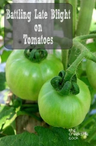 ca555051eb22470500655961702a22d0 - How To Get Rid Of Late Blight On Tomatoes